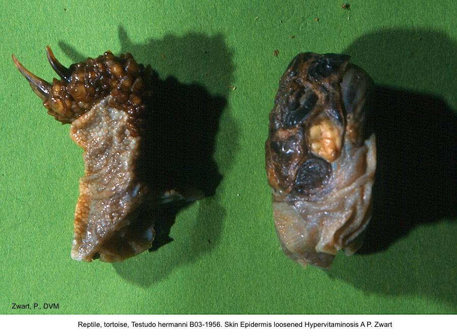 Testudo hermanni B03-1956. Skin Epidermis loosened Hypervitaminosis A P. Zwart kopie