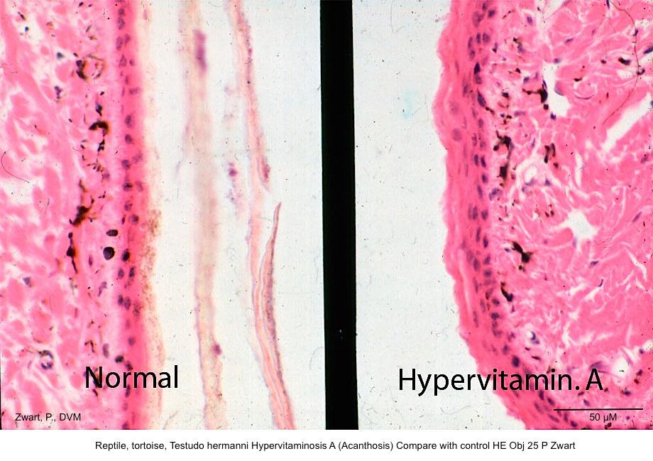 Testudo hermanni Hypervit A versus normal HE 25 Pkopie kopie 2