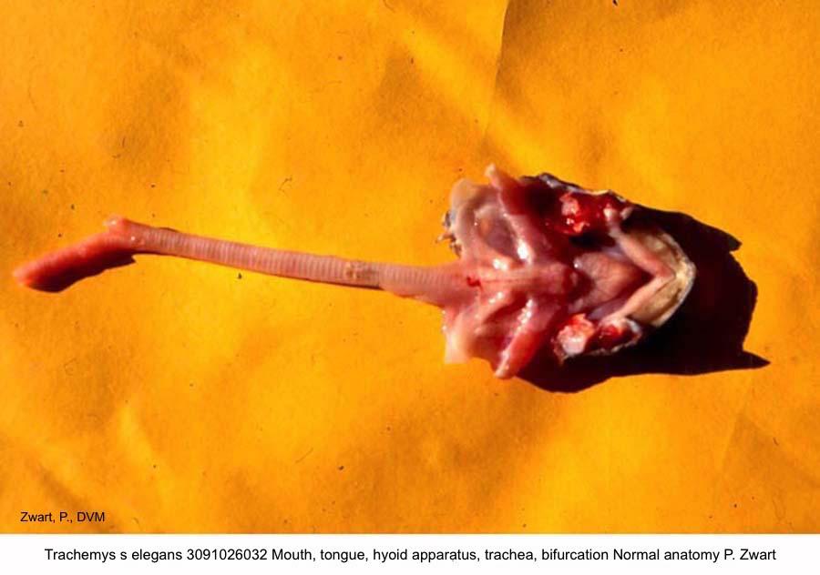 Trachemys s elegans 3091026032 Mouth, tongue, hyoid apparatus, trachea, bifurcation Normal anatomy P. Zwart kopie.jpg