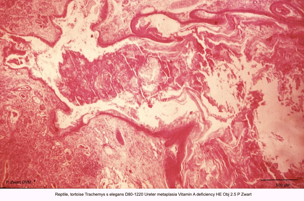 Trachemys s elegans D80-1220 Ureter metaplasia Vitamin A deficiency HE Obj 2.5 P Zwart kopie