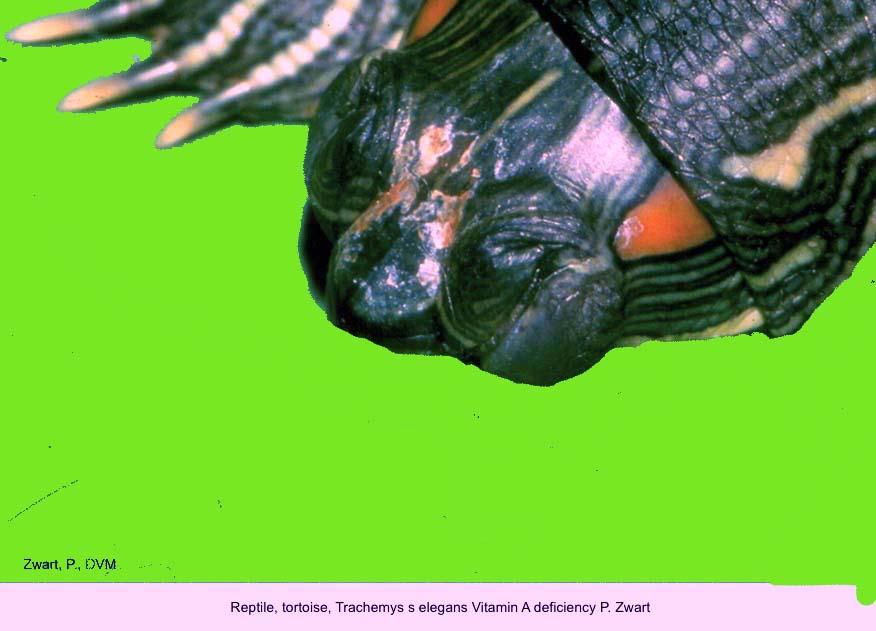 Trachemys s elegans Vitamin A deficiency P. Zwart kopie