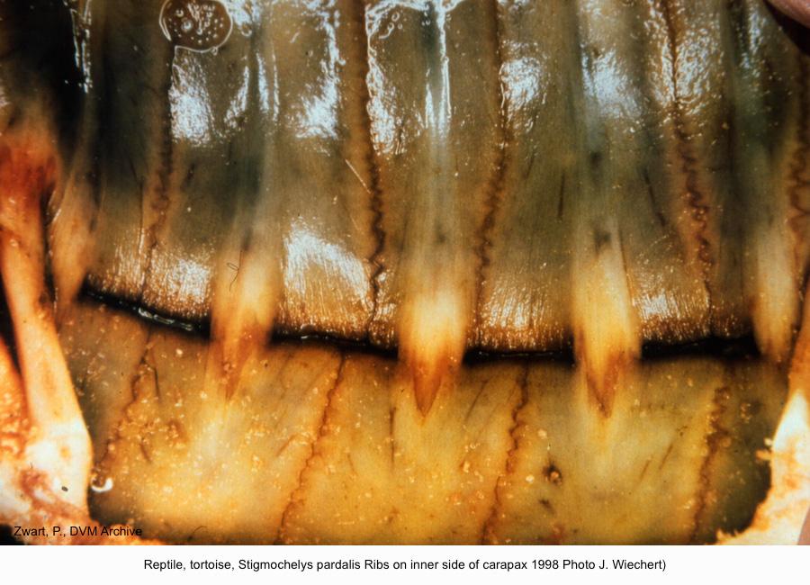 Stigmochelys pardalis Ribs on inner side of carapax 1998 (J. Wiechert) kopie