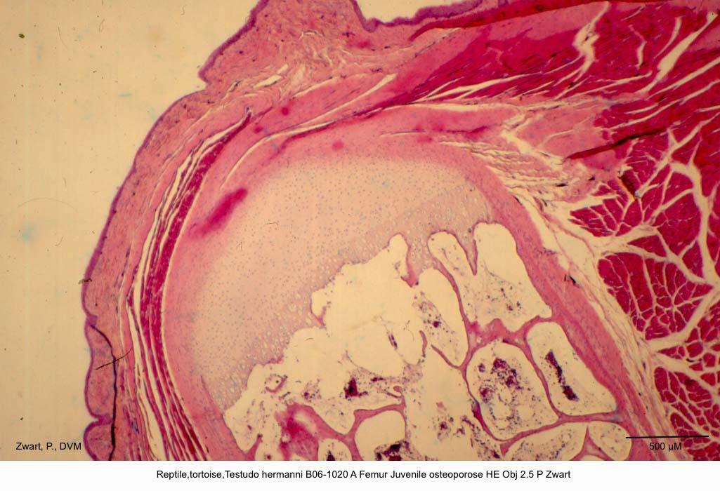 Testudo hermanni B06-1020 A Femur Juvenile osteoporose HE Obj 2.5 P Zwart kopie