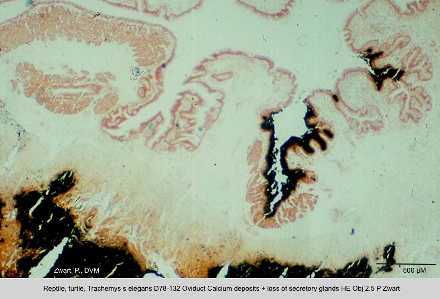 Trachemys s elegans D78-132 Oviduct Calcium deposits + loss of secretory glands Kossa Obj 2.5 P Zwart kopie