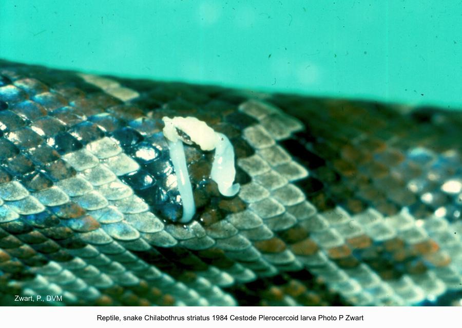Chilabothrus striatus Jan 1984 Plerocercoid larva Photo P Zwart kopie
