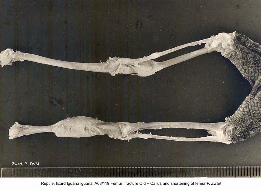 Iguana iguana A68:119 Femur fracture Old + Callus and shortening of femur P. Zwart kopie