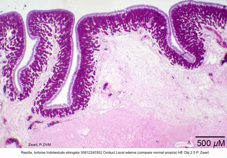 Indotestudo elongata 30812240302 Oviduct Local edema (compare normal propria) HE Obj 2.5 P. Zwart kopie