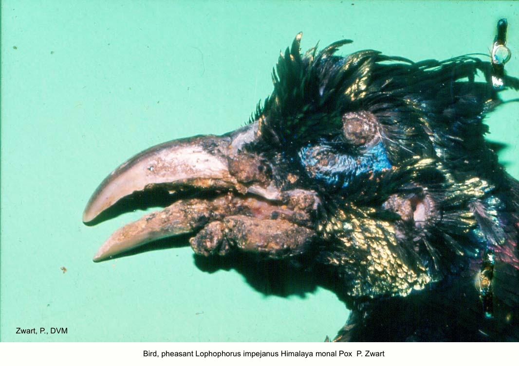 Lophophorus impejanus Himalaya monal Pox P. Zwart kopie