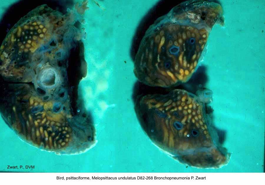 Melopsittacus undulatus D82-268 Bronchopneumonia P. Zwart kopie