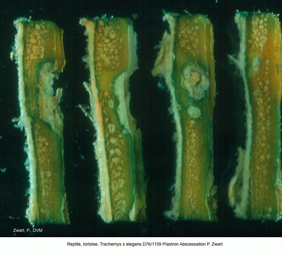 Trachemys s elegans D76-1159 Plastron abscessation P. Zwart kopie