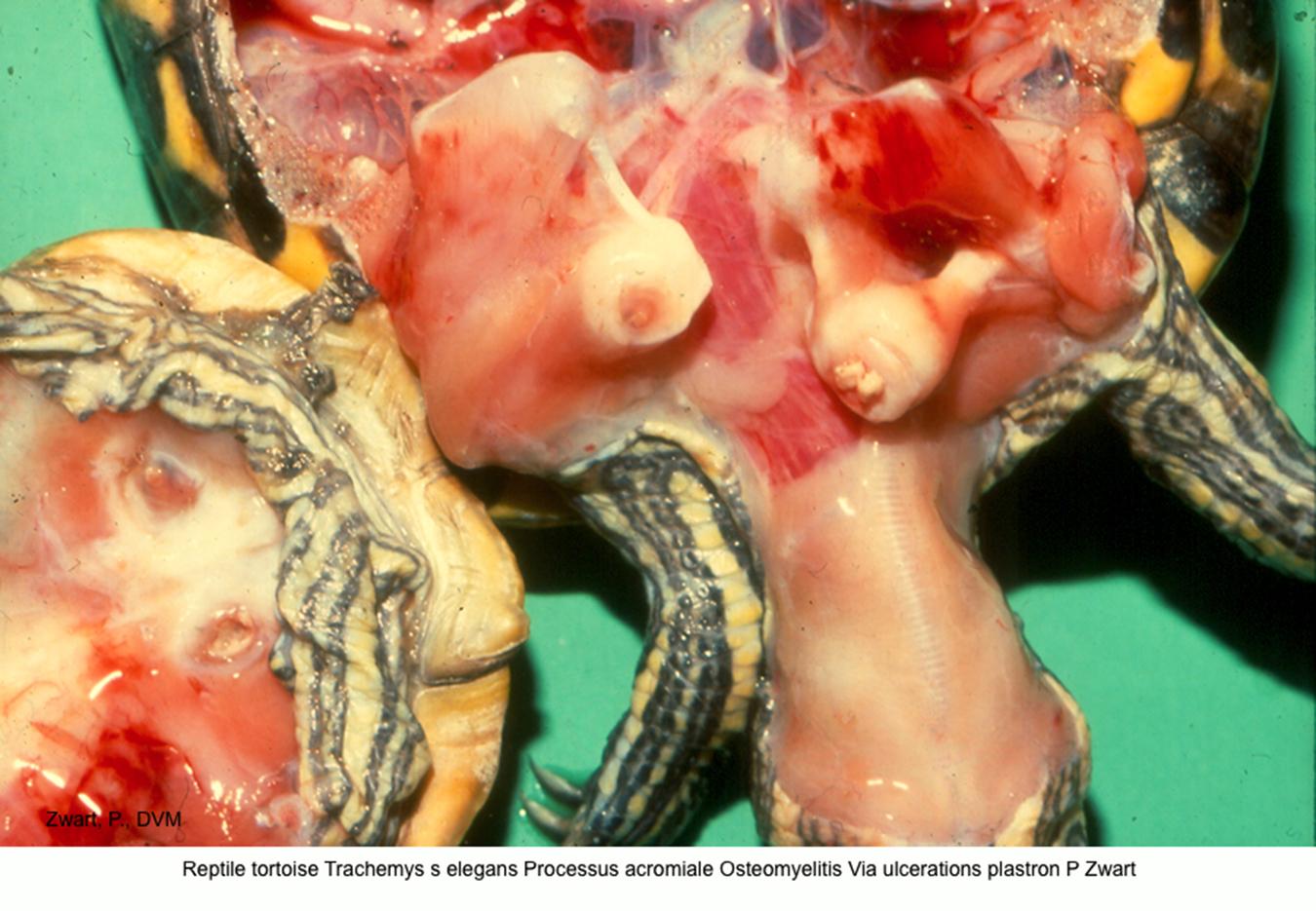 Trachemys s elegans Processus acromiale Osteomyelitis Via plastron ulcerations P Zwart kopie.jpg
