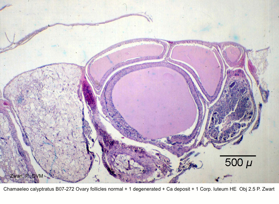 Chamaeleo calyptratus B07-272 Ovary follicles normal + 1 degenerated + Ca deposit + 1 Corp. luteum HE Obj 2.5 ~P. Zwart kopie 1