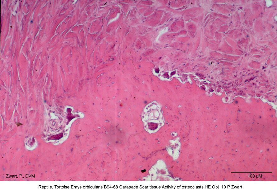 Emys orbicularis B94-68 Carapace Scar tissue Activity of osteoclasts HE Obj 10 P Zwart kopie