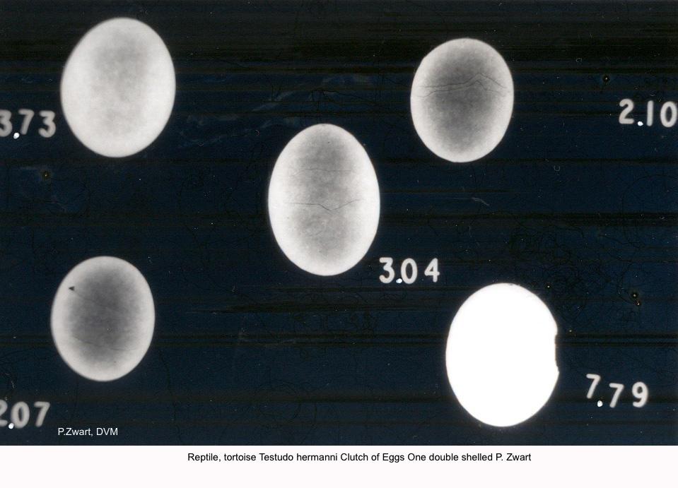 Testudo hermanni Clutch of Eggs One double shelled P. Zwart kopie