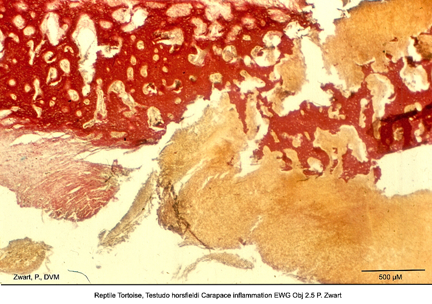 Testudo horsfieldi Carapace inflammation EWG Obj 2.5 P. Zwart kopie