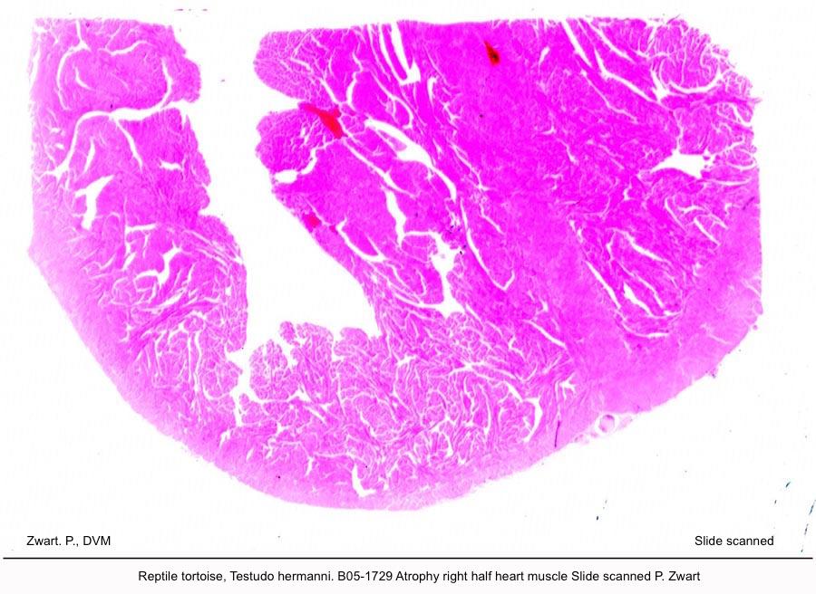 Testudo hermanni. B05-1729 Atrophy right half heart muscle Slide scanned P kopie