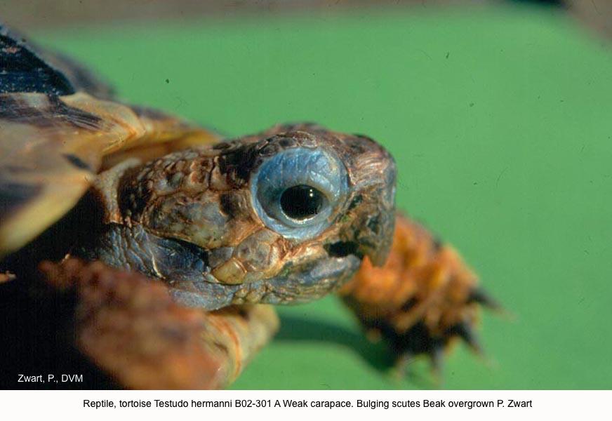 Testudo hermanni B02-301 A Weak carapace. Bulging scutes Beak overgrown P. Zwart kopie